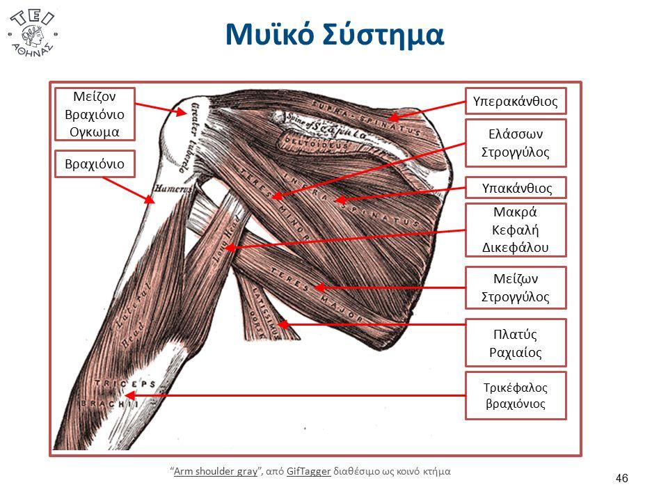 Μυϊκό Σύστημα 46 Τρικέφαλος βραχιόνιος Μακρά Κεφαλή Δικεφάλου Πλατύς Ραχιαίος Μείζων Στρογγύλος Ελάσσων Στρογγύλος Υπακάνθιος Υπερακάνθιος Μείζον Βραχ