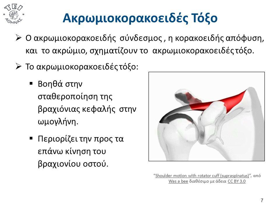Ακρωμιοκορακοειδές Τόξο  Ο ακρωμιοκορακοειδής σύνδεσμος, η κορακοειδής απόφυση, και το ακρώμιο, σχηματίζουν το ακρωμιοκορακοειδές τόξο. 7  Το ακρωμι