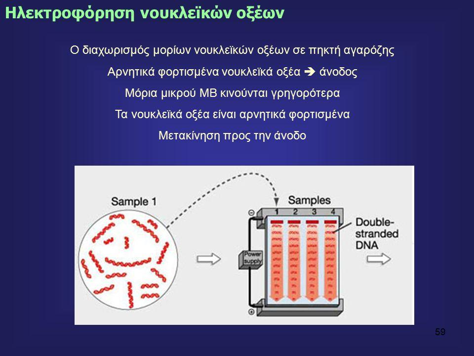 59 Ηλεκτροφόρηση νουκλεϊκών οξέων Ο διαχωρισμός μορίων νουκλεϊκών οξέων σε πηκτή αγαρόζης Αρνητικά φορτισμένα νουκλεϊκά οξέα  άνοδος Μόρια μικρού ΜΒ κινούνται γρηγορότερα Τα νουκλεϊκά οξέα είναι αρνητικά φορτισμένα Μετακίνηση προς την άνοδο