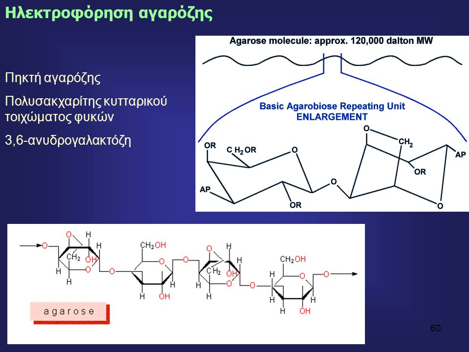 60 Ηλεκτροφόρηση αγαρόζης Πηκτή αγαρόζης Πολυσακχαρίτης κυτταρικού τοιχώματος φυκών 3,6-ανυδρογαλακτόζη