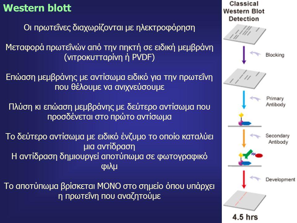 73 Οι πρωτεΐνες διαχωρίζονται με ηλεκτροφόρηση Μεταφορά πρωτεΐνών από την πηκτή σε ειδική μεμβράνη (νιτροκυτταρίνη ή PVDF) Επώαση μεμβράνης με αντίσωμα ειδικό για την πρωτεΐνη που θέλουμε να ανιχνεύσουμε Πλύση κι επώαση μεμβράνης με δεύτερο αντίσωμα που προσδένεται στο πρώτο αντίσωμα Το δεύτερο αντίσωμα με ειδικό ένζυμο το οποίο καταλύει μια αντίδραση Η αντίδραση δημιουργεί αποτύπωμα σε φωτογραφικό φιλμ Το αποτύπωμα βρίσκεται ΜΟΝΟ στο σημείο όπου υπάρχει η πρωτεΐνη που αναζητούμε Western blott