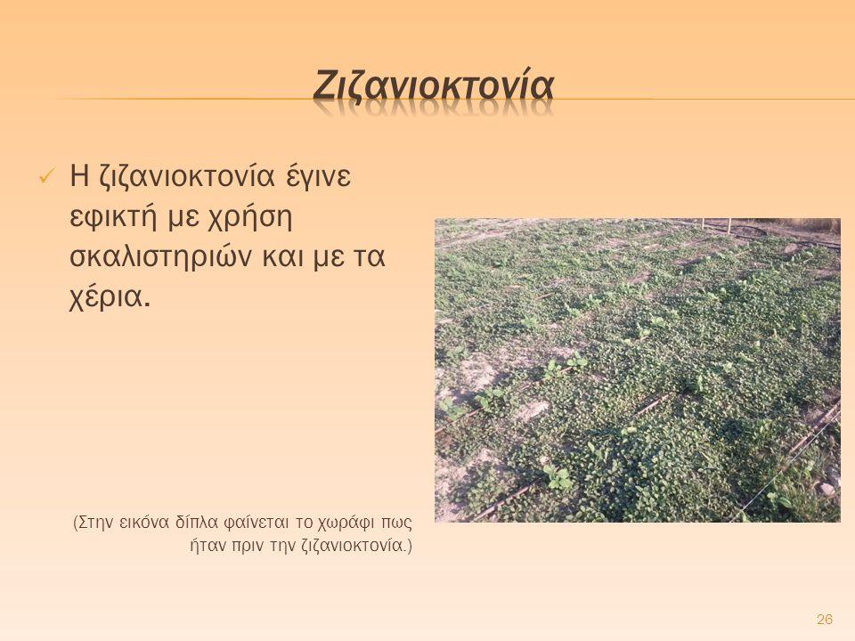 Η ζιζανιοκτονία έγινε εφικτή με χρήση σκαλιστηριών και με τα χέρια. (Στην εικόνα δίπλα φαίνεται το χωράφι πως ήταν πριν την ζιζανιοκτονία.) 26