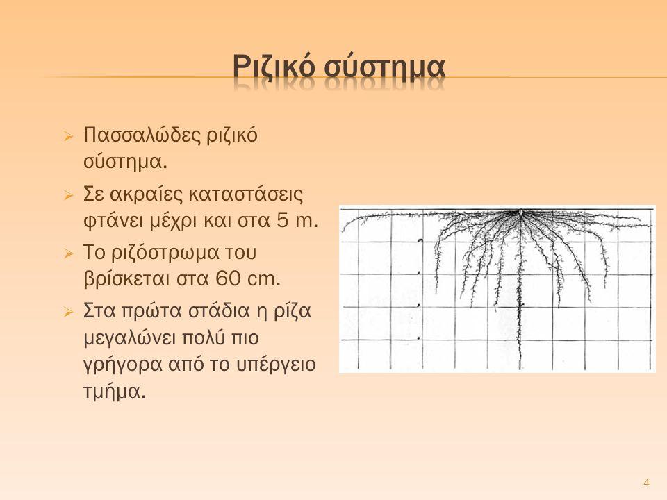  Πασσαλώδες ριζικό σύστημα.  Σε ακραίες καταστάσεις φτάνει μέχρι και στα 5 m.  Το ριζόστρωμα του βρίσκεται στα 60 cm.  Στα πρώτα στάδια η ρίζα μεγ