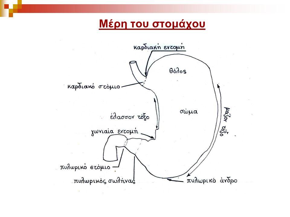 Μέρη του στομάχου