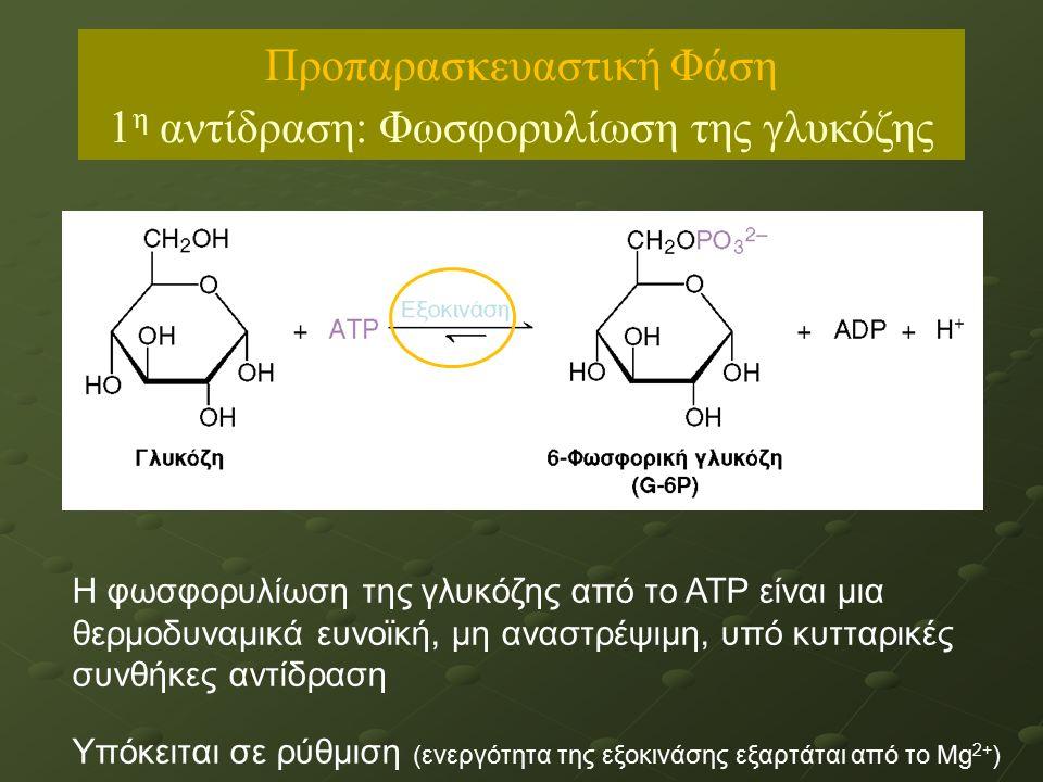 Προπαρασκευαστική Φάση 1 η αντίδραση: Φωσφορυλίωση της γλυκόζης Η φωσφορυλίωση της γλυκόζης από το ΑΤΡ είναι μια θερμοδυναμικά ευνοϊκή, μη αναστρέψιμη, υπό κυτταρικές συνθήκες αντίδραση Υπόκειται σε ρύθμιση (ενεργότητα της εξοκινάσης εξαρτάται από το Mg 2+ )