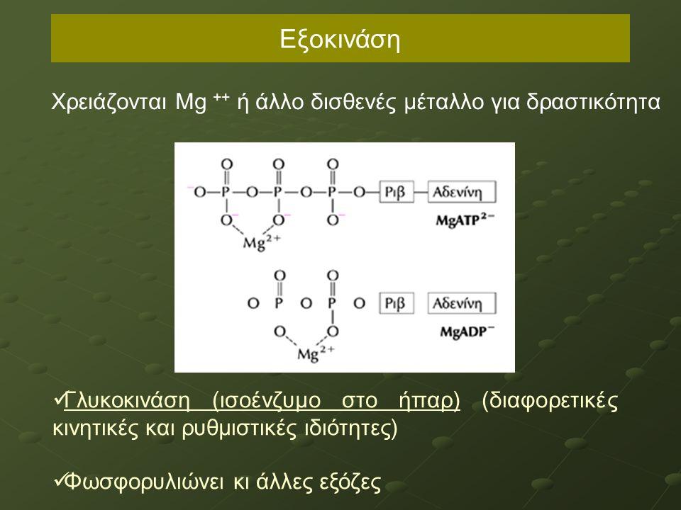 Εξοκινάση Χρειάζονται Μg ++ ή άλλο δισθενές μέταλλο για δραστικότητα Γλυκοκινάση (ισοένζυμο στο ήπαρ) (διαφορετικές κινητικές και ρυθμιστικές ιδιότητες) Φωσφορυλιώνει κι άλλες εξόζες