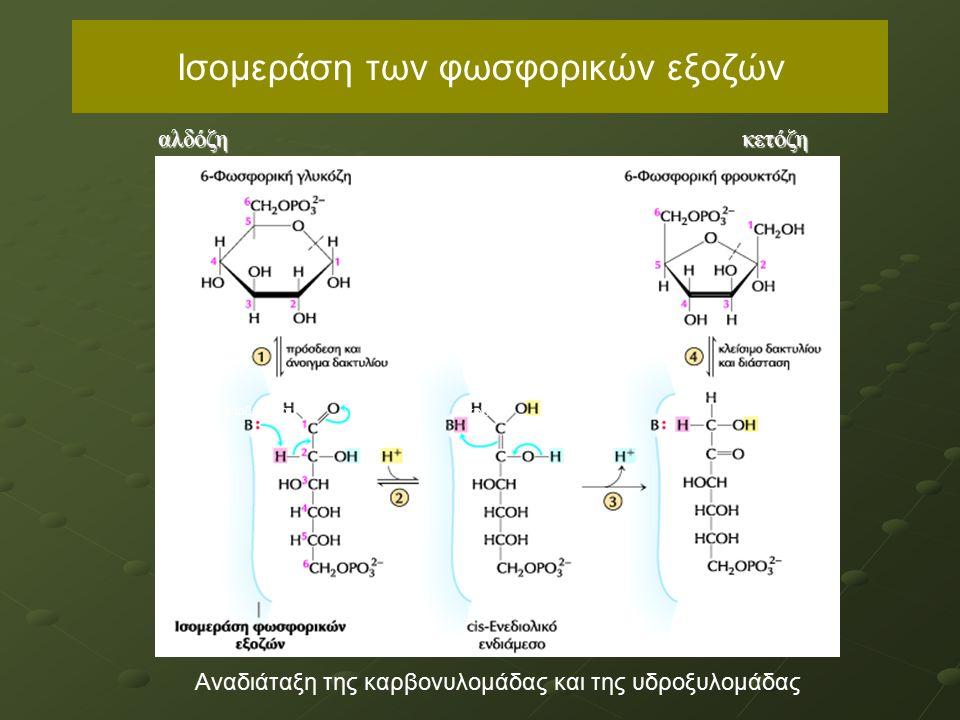 Ισομεράση των φωσφορικών εξοζών αλδόζηκετόζη Aναδιάταξη της καρβονυλομάδας και της υδροξυλομάδας καρβονύλιο αλκοόλη