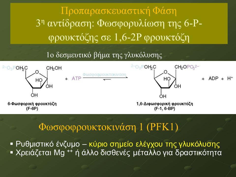 1ο δεσμευτικό βήμα της γλυκόλυσης  Ρυθμιστικό ένζυμο – κύριο σημείο ελέγχου της γλυκόλυσης  Χρειάζεται Μg ++ ή άλλο δισθενές μέταλλο για δραστικότητα Φωσφοφρουκτοκινάση 1 (PFK1) Προπαρασκευαστική Φάση 3 η αντίδραση: Φωσφορυλίωση της 6-Ρ- φρουκτόζης σε 1,6-2Ρ φρουκτόζη