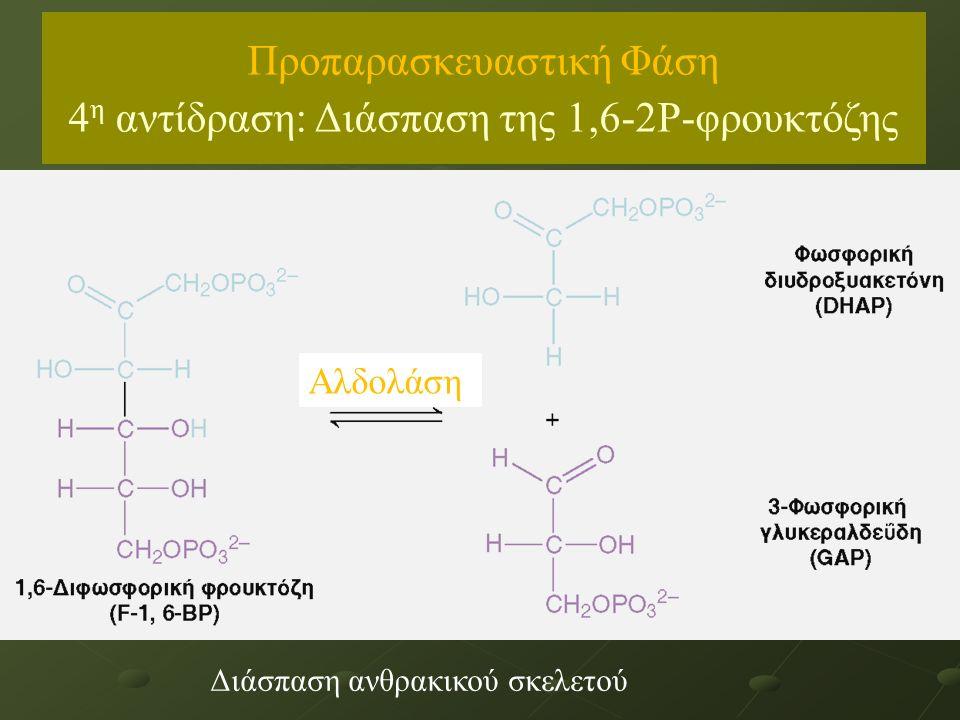 Αλδολάση Διάσπαση ανθρακικού σκελετού Προπαρασκευαστική Φάση 4 η αντίδραση: Διάσπαση της 1,6-2Ρ-φρουκτόζης