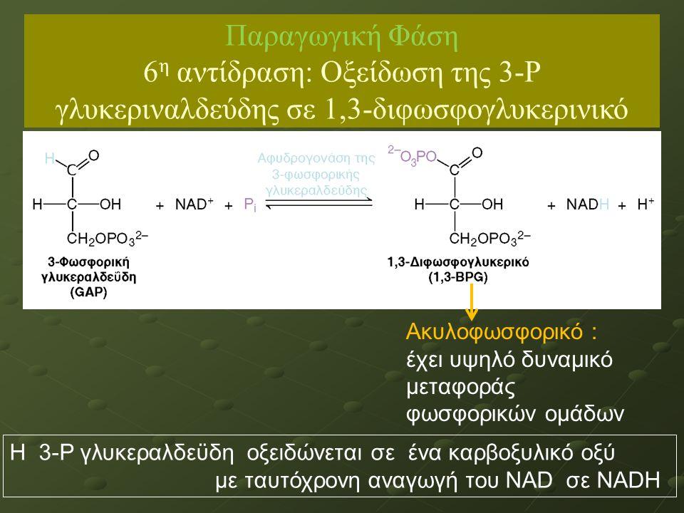 Ακυλοφωσφορικό : έχει υψηλό δυναμικό μεταφοράς φωσφορικών ομάδων Η 3-Ρ γλυκεραλδεϋδη οξειδώνεται σε ένα καρβοξυλικό οξύ με ταυτόχρονη αναγωγή του NAD σε NADH Παραγωγική Φάση 6 η αντίδραση: Οξείδωση της 3-Ρ γλυκεριναλδεύδης σε 1,3-διφωσφογλυκερινικό