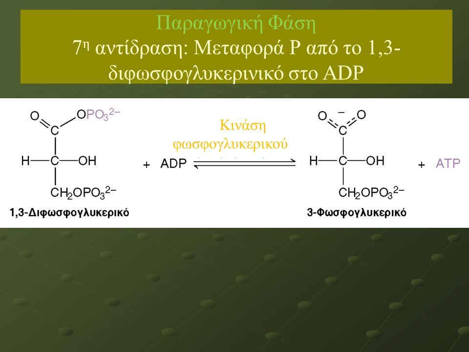 Παραγωγική Φάση 7 η αντίδραση: Μεταφορά Ρ από το 1,3- διφωσφογλυκερινικό στο ADP Κινάση φωσφογλυκερικού