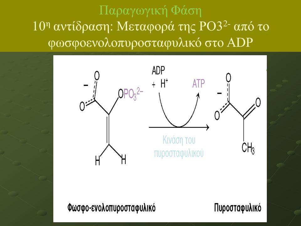 ΙΙΙΙΙΙΙΙΙΙΙΙ Παραγωγική Φάση 10 η αντίδραση: Μεταφορά της ΡΟ3 2- από το φωσφοενολοπυροσταφυλικό στο ADP