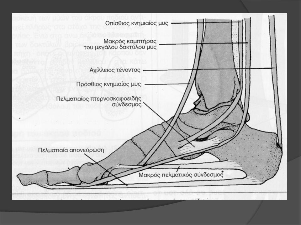 Μύες της οπίσθιας επιφάνειας της κνήμης H βάδιση σε απαιτεί μια ισχυρή ανάπτυξη των μυών της γαστροκνημίας (που να ενεργούν ενάντια στο βάρος του σώματος) και παρατηρείται μια σαφής υπερίσχυση των καμπτήρων(που «τεντώνουν» το άκρο πόδι) έναντι των εκτεινόντων.