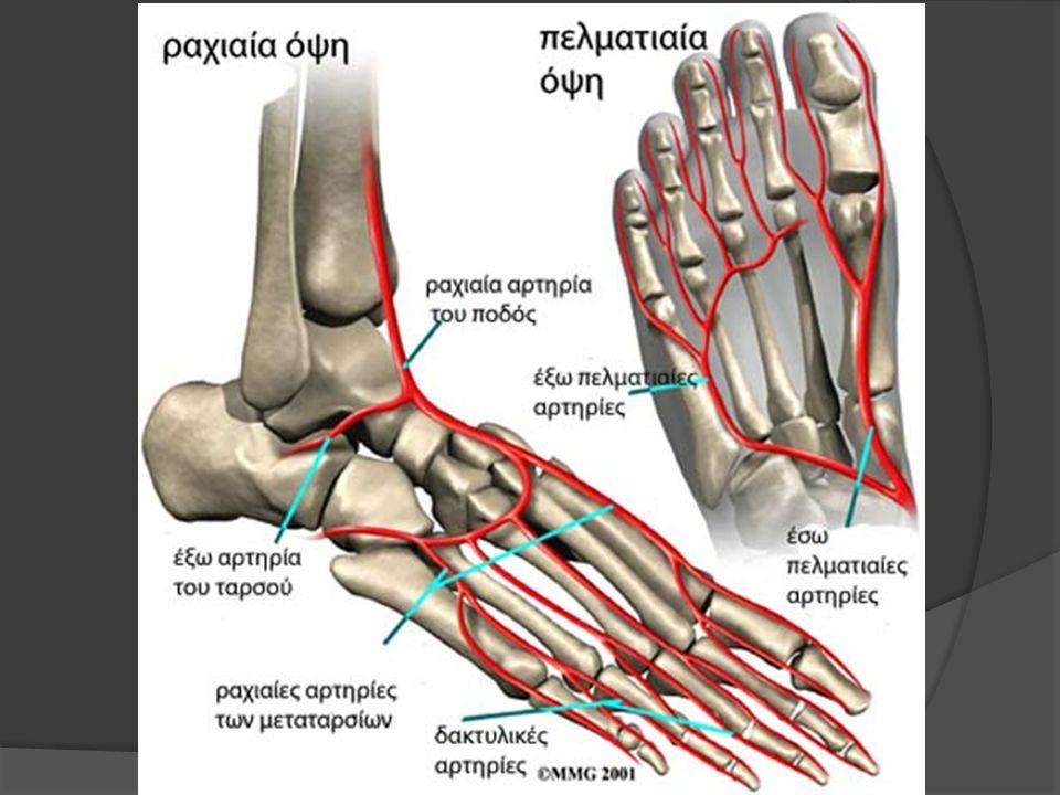 Γαστροκνήμιος μυς Ο γαστροκνήμιος μαζί με τον υποκνημίδιο σχηματίζουν τον τρικέφαλο της γαστροκνημίας μυ που ανήκει στην επιπολής στιβάδα των καμπτήρων μυών.