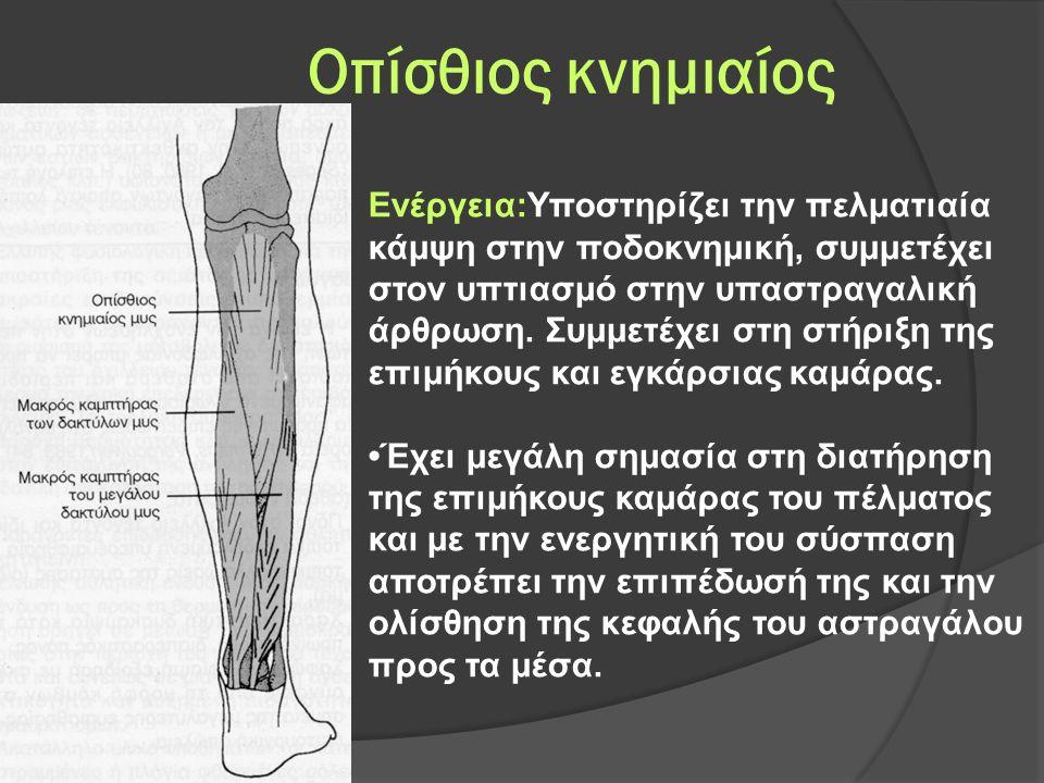 Οπίσθιος κνημιαίος Ενέργεια:Υποστηρίζει την πελματιαία κάμψη στην ποδοκνημική, συμμετέχει στον υπτιασμό στην υπαστραγαλική άρθρωση.