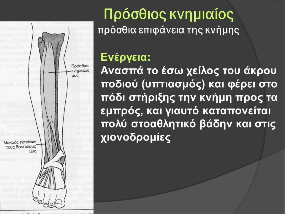 Πρόσθιος κνημιαίος πρόσθια επιφάνεια της κνήμης Ενέργεια: Ανασπά το έσω χείλος του άκρου ποδιού (υπτιασμός) και φέρει στο πόδι στήριξης την κνήμη προς τα εμπρός, και γιαυτό καταπονείται πολύ στοαθλητικό βάδην και στις χιονοδρομίες