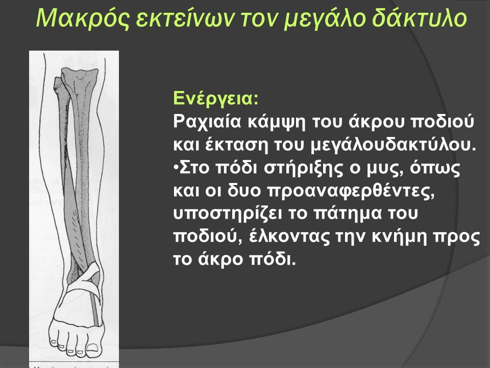 Μακρός εκτείνων τον μεγάλο δάκτυλο Ενέργεια: Ραχιαία κάμψη του άκρου ποδιού και έκταση του μεγάλουδακτύλου.