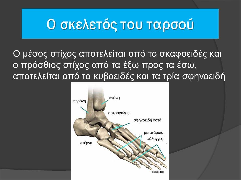 Ο μέσος στίχος αποτελείται από το σκαφοειδές και ο πρόσθιος στίχος από τα έξω προς τα έσω, αποτελείται από το κυβοειδές και τα τρία σφηνοειδή Ο σκελετός του ταρσού