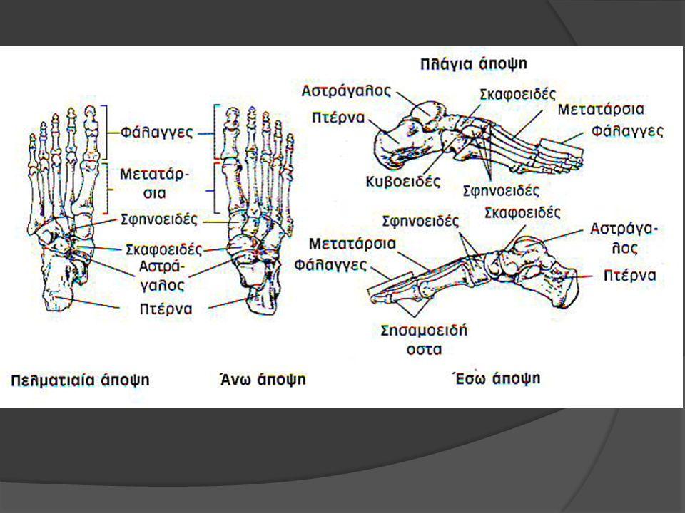ΑΡΘΡΩΣΕΙΣ ΤΟΥ ΠΟΔΟΣ  Η αστραγαλοκνημική διάρθρωση, στην οποία συντάσσεται το πόδι με την κνήμη.