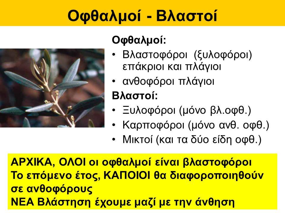 Άνθη - Ταξιανθίες Ταξιανθία «βότρυς» Δύο τύποι ανθέων στο ίδιο δέντρο (μονόοικο) τέλεια ερμαφρόδιτα (1- 5%) ατελή στημονοφόρα (99- 95%)