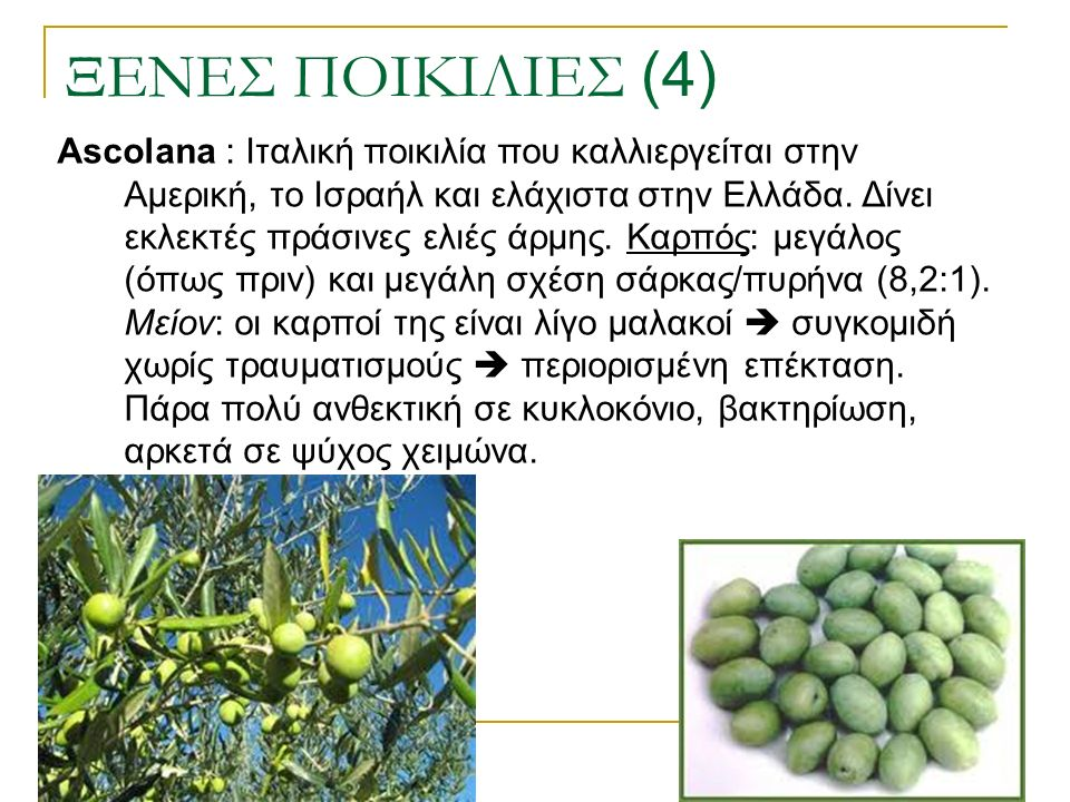 ΞΕΝΕΣ ΠΟΙΚΙΛΙΕΣ (4) Ascolana : Ιταλική ποικιλία που καλλιεργείται στην Αμερική, το Ισραήλ και ελάχιστα στην Ελλάδα. Δίνει εκλεκτές πράσινες ελιές άρμη