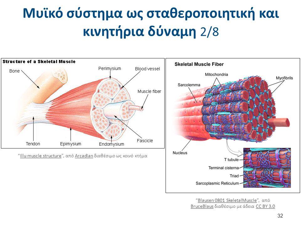 """Μυϊκό σύστημα ως σταθεροποιητική και κινητήρια δύναμη 2/8 32 """"Blausen 0801 SkeletalMuscle"""", από BruceBlaus διαθέσιμο με άδεια CC BY 3.0Blausen 0801 Sk"""