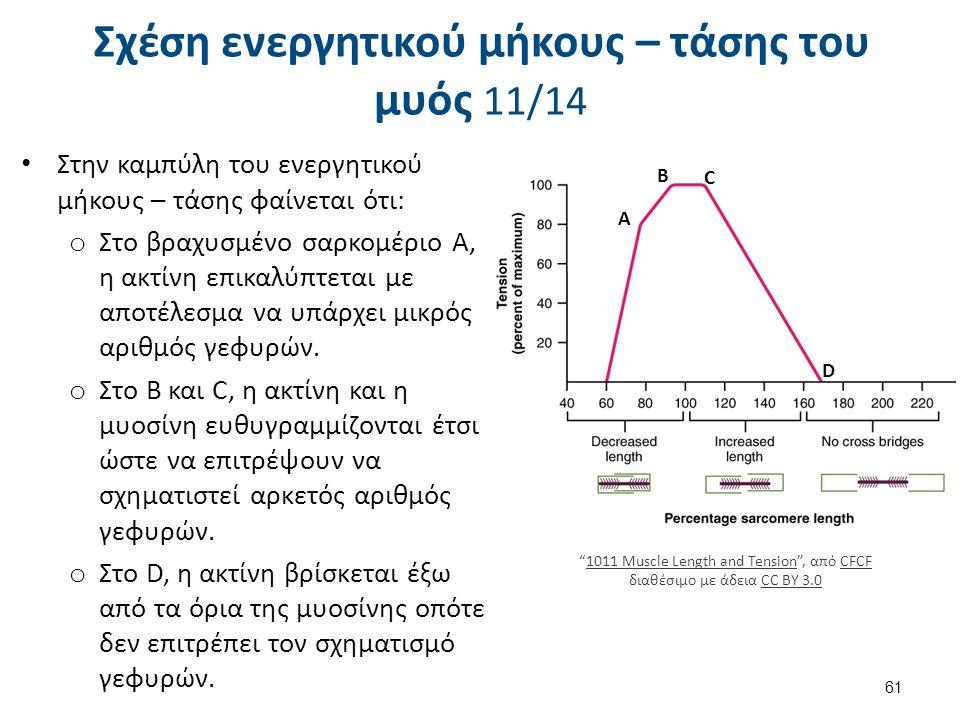 Σχέση ενεργητικού μήκους – τάσης του μυός 11/14 Στην καμπύλη του ενεργητικού μήκους – τάσης φαίνεται ότι: o Στο βραχυσμένο σαρκομέριο Α, η ακτίνη επικ
