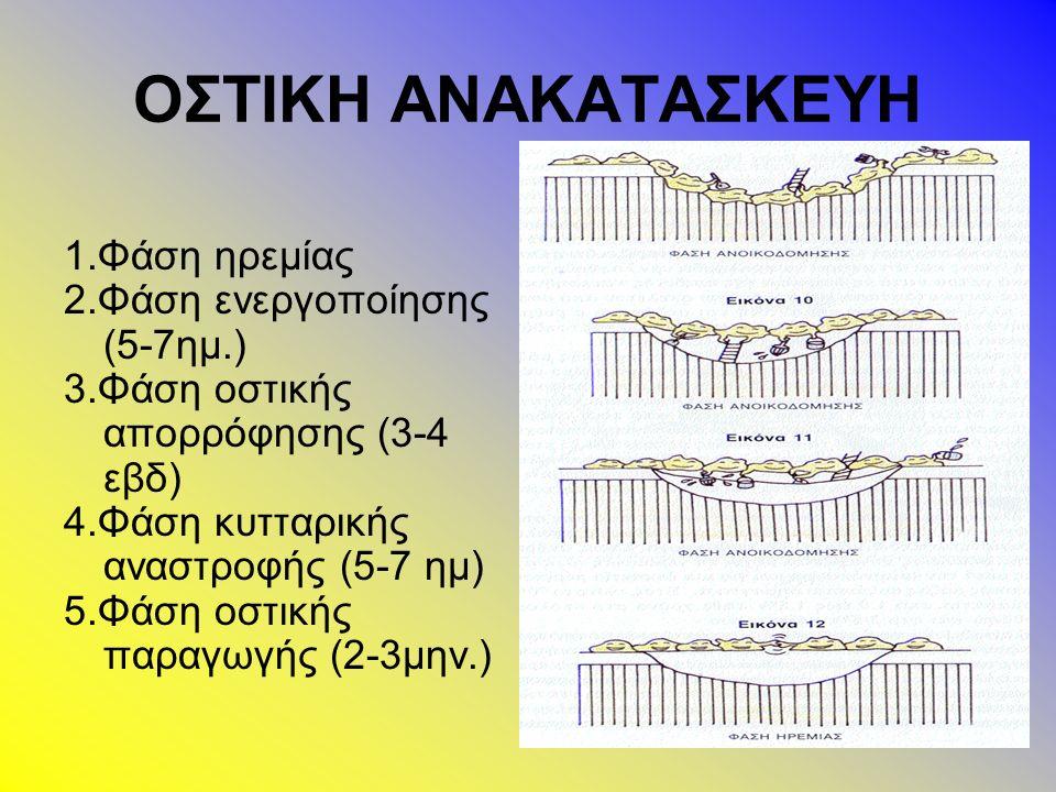1.Φάση ηρεμίας 2.Φάση ενεργοποίησης (5-7ημ.) 3.Φάση οστικής απορρόφησης (3-4 εβδ) 4.Φάση κυτταρικής αναστροφής (5-7 ημ) 5.Φάση οστικής παραγωγής (2-3μην.)