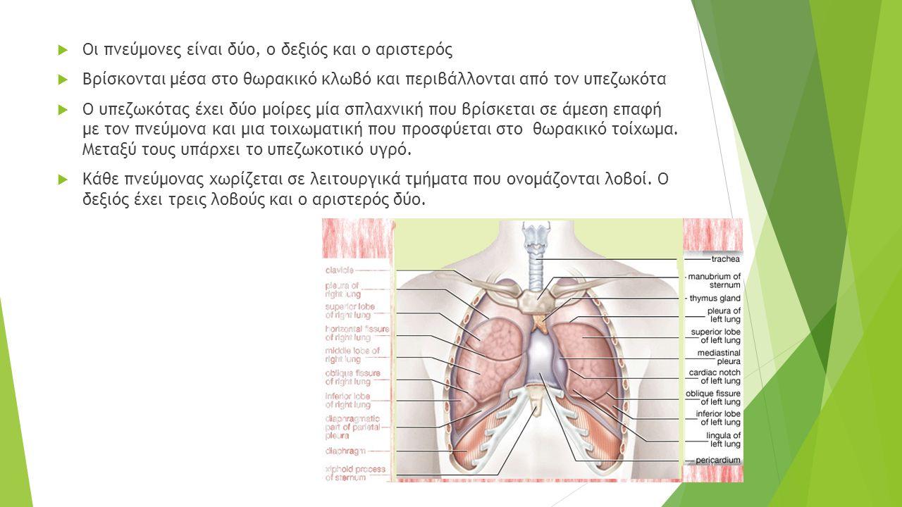  Οι πνεύμονες είναι δύο, ο δεξιός και ο αριστερός  Βρίσκονται μέσα στο θωρακικό κλωβό και περιβάλλονται από τον υπεζωκότα  Ο υπεζωκότας έχει δύο μοίρες μία σπλαχνική που βρίσκεται σε άμεση επαφή με τον πνεύμονα και μια τοιχωματική που προσφύεται στο θωρακικό τοίχωμα.