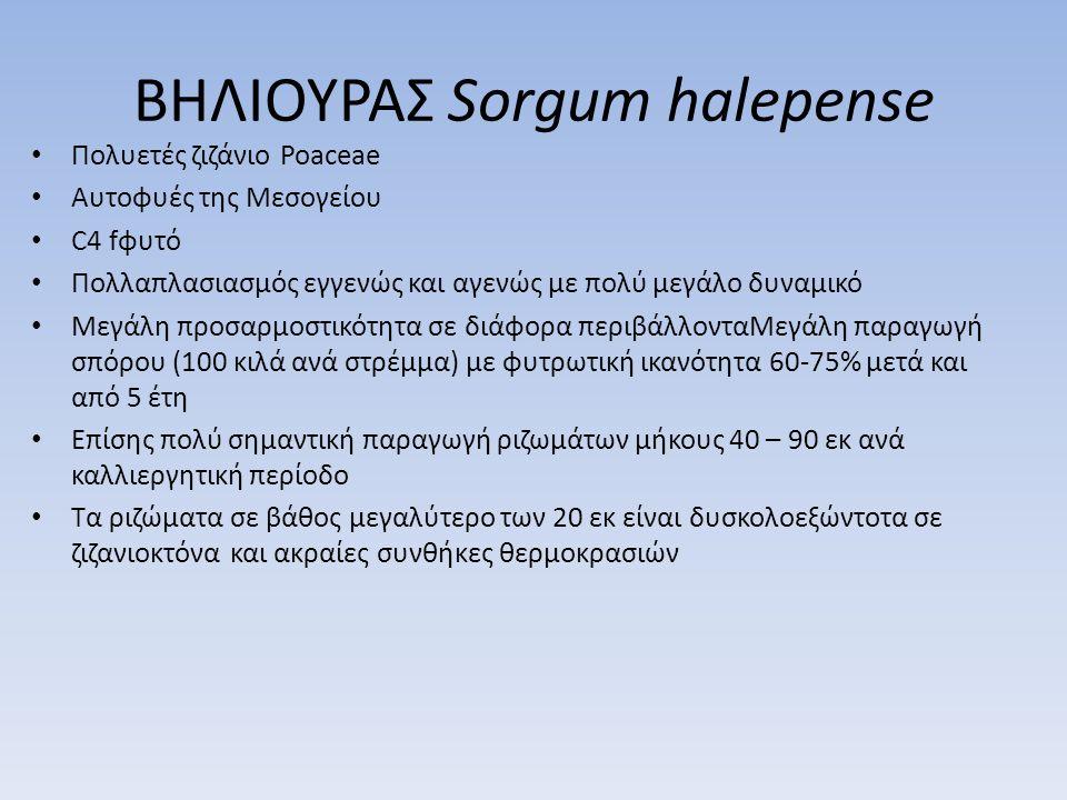 ΒΗΛΙΟΥΡΑΣ Sorgum halepense Πολυετές ζιζάνιο Poaceae Αυτοφυές της Μεσογείου C4 fφυτό Πολλαπλασιασμός εγγενώς και αγενώς με πολύ μεγάλο δυναμικό Μεγάλη