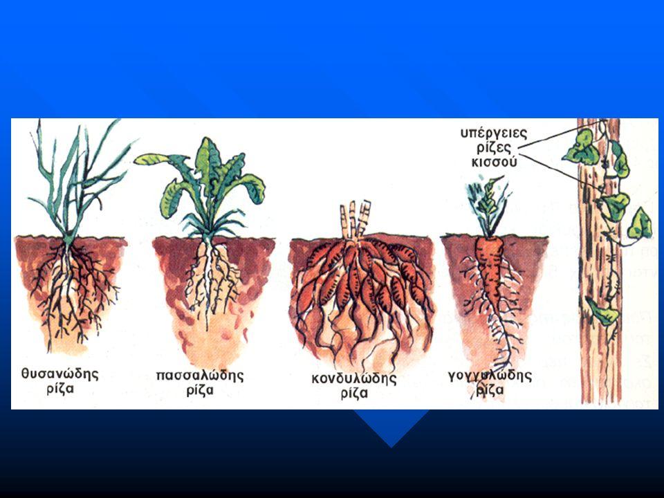 Είδη ριζών (α) πασσαλώδης: έχει κύρια ρίζα. Συνήθως στα δικοτυλήδονα.
