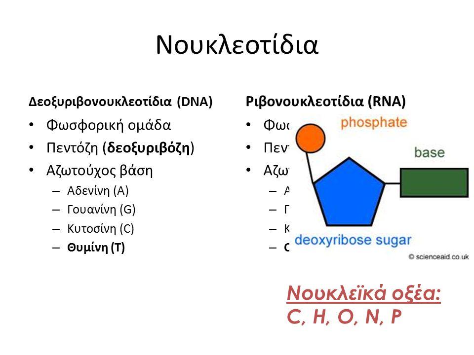 Νουκλεοτίδια Δεοξυριβονουκλεοτίδια (DNA) Φωσφορική ομάδα Πεντόζη (δεοξυριβόζη) Αζωτούχος βάση – Αδενίνη (A) – Γουανίνη (G) – Κυτοσίνη (C) – Θυμίνη (T)