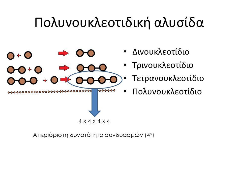 Πολυνουκλεοτιδική αλυσίδα Δινουκλεοτίδιο Τρινουκλεοτίδιο Τετρανουκλεοτίδιο Πολυνουκλεοτίδιο 4 x 4 x 4 x 4 Απεριόριστη δυνατότητα συνδυασμών (4 ν )
