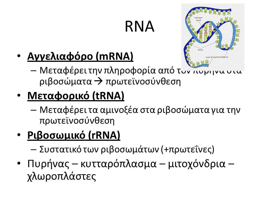 RNA Αγγελιαφόρο (mRNA) – Μεταφέρει την πληροφορία από τον πυρήνα στα ριβοσώματα  πρωτεϊνοσύνθεση Μεταφορικό (tRNA) – Μεταφέρει τα αμινοξέα στα ριβοσώ