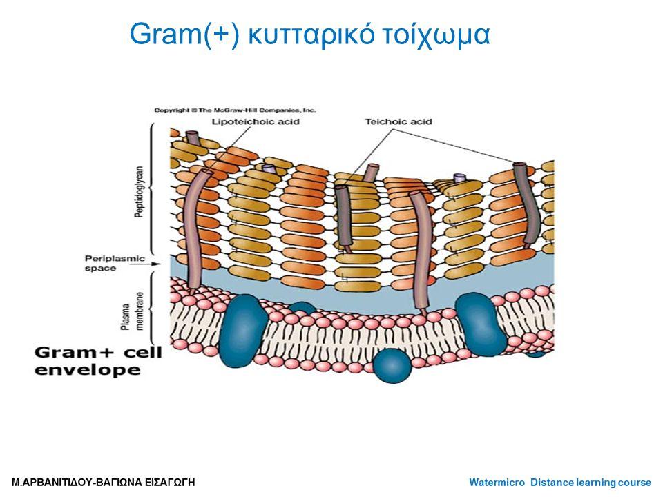Gram(+) κυτταρικό τοίχωμα