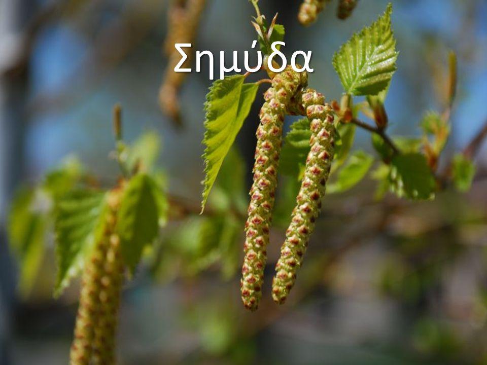 Σημύδα