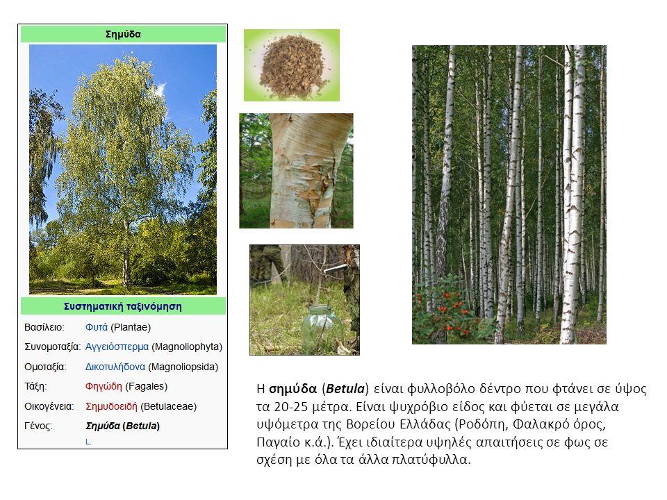 Η σημύδα (Betula) είναι φυλλοβόλο δέντρο που φτάνει σε ύψος τα 20-25 μέτρα.
