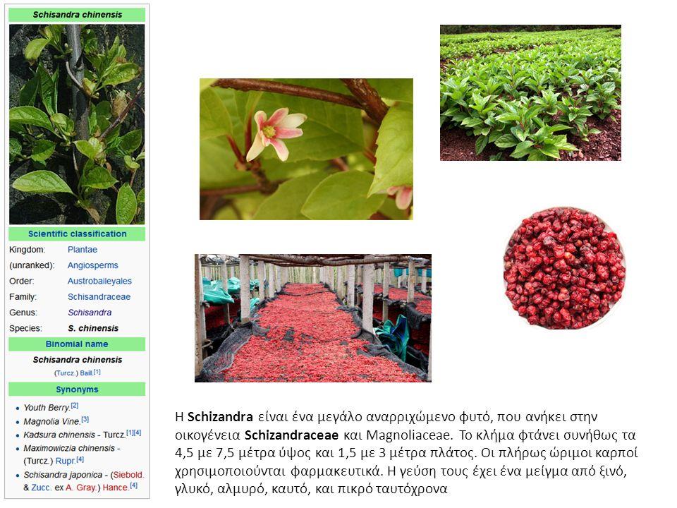 Η Schizandra είναι ένα μεγάλο αναρριχώμενο φυτό, που ανήκει στην οικογένεια Schizandraceae και Magnoliaceae.