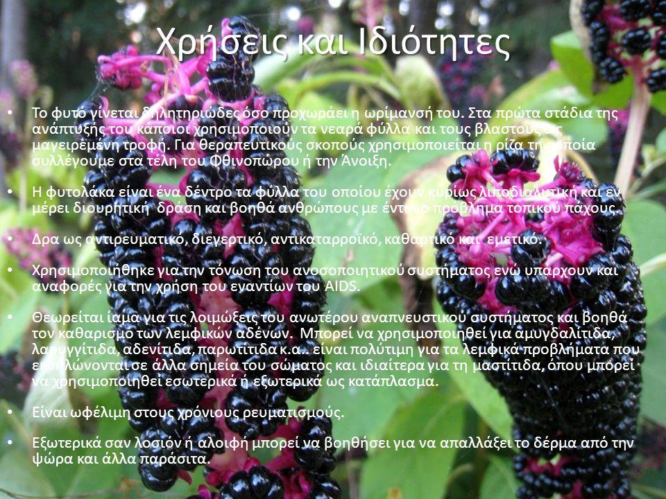 Χρήσεις και Ιδιότητες Το φυτό γίνεται δηλητηριώδες όσο προχωράει η ωρίμανσή του.