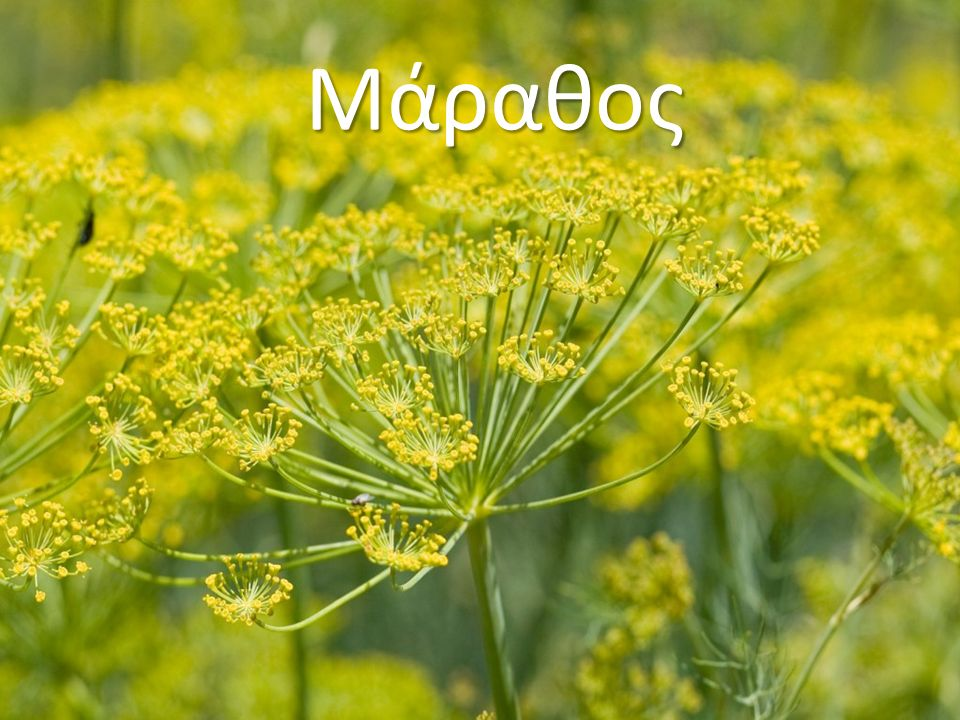 Καλλιεργητικές συνθήκες Το δενδρολίβανο ευδοκιμεί σε θερμά όσο και σε ψυχρά κλίματα.