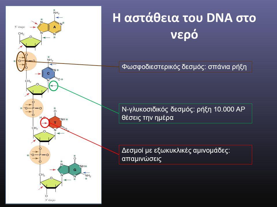 Η αστάθεια του DNA στο νερό Φωσφοδιεστερικός δεσμός: σπάνια ρήξη Ν-γλυκοσιδικός δεσμός: ρήξη 10.000 ΑΡ θέσεις την ημέρα Δεσμοί με εξωκυκλικές αμινομάδες: απαμινώσεις