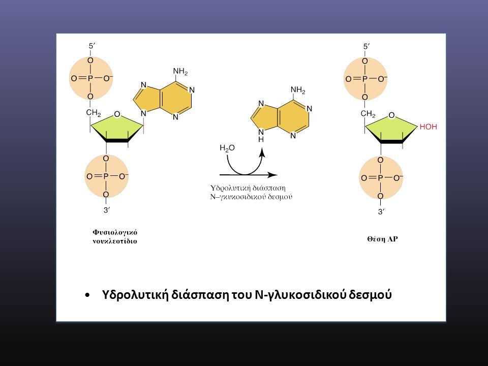 Υδρολυτική διάσπαση του Ν-γλυκοσιδικού δεσμού