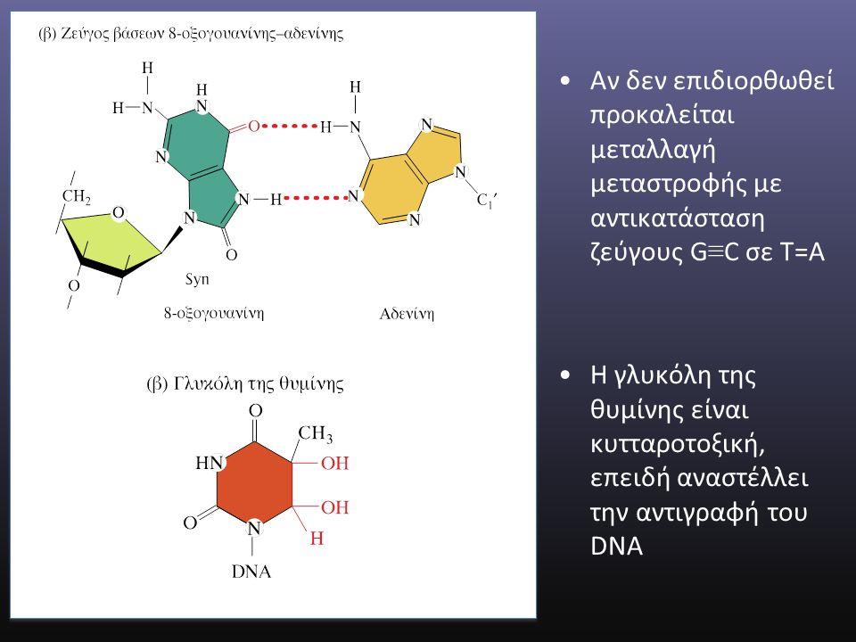 Αν δεν επιδιορθωθεί προκαλείται μεταλλαγή μεταστροφής με αντικατάσταση ζεύγους G ≡ C σε T=A H γλυκόλη της θυμίνης είναι κυτταροτοξική, επειδή αναστέλλει την αντιγραφή του DNA