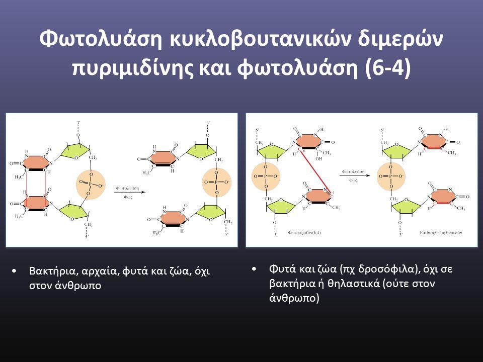 Φωτολυάση κυκλοβουτανικών διμερών πυριμιδίνης και φωτολυάση (6-4) Βακτήρια, αρχαία, φυτά και ζώα, όχι στον άνθρωπο Φυτά και ζώα (πχ δροσόφιλα), όχι σε βακτήρια ή θηλαστικά (ούτε στον άνθρωπο)