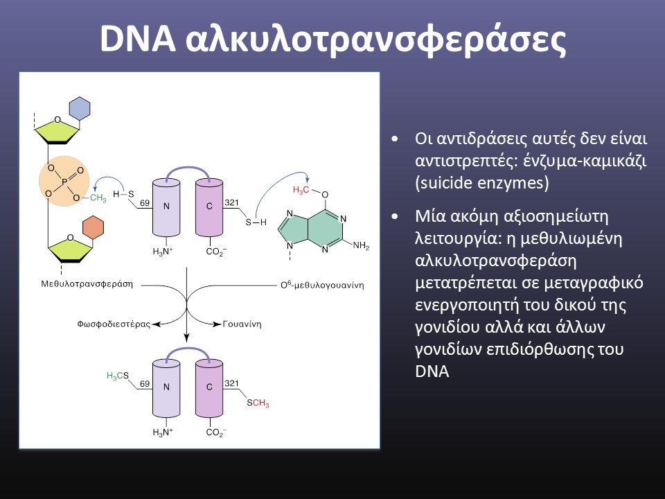 DNA αλκυλοτρανσφεράσες Οι αντιδράσεις αυτές δεν είναι αντιστρεπτές: ένζυμα-καμικάζι (suicide enzymes) Μία ακόμη αξιοσημείωτη λειτουργία: η μεθυλιωμένη αλκυλοτρανσφεράση μετατρέπεται σε μεταγραφικό ενεργοποιητή του δικού της γονιδίου αλλά και άλλων γονιδίων επιδιόρθωσης του DNA
