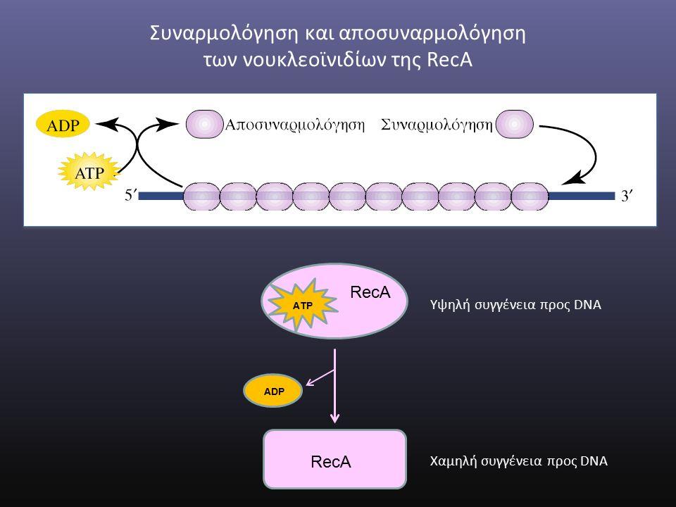 ADP RecA ATP Υψηλή συγγένεια προς DNA Χαμηλή συγγένεια προς DNA Συναρμολόγηση και αποσυναρμολόγηση των νουκλεοϊνιδίων της RecA