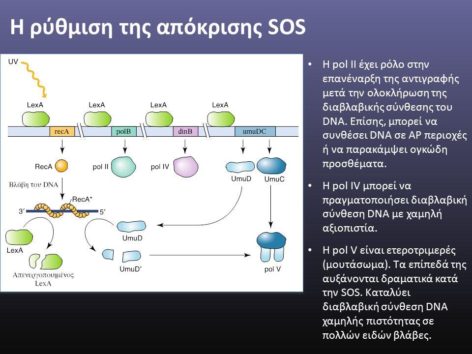 H ρύθμιση της απόκρισης SOS H pol II έχει ρόλο στην επανέναρξη της αντιγραφής μετά την ολοκλήρωση της διαβλαβικής σύνθεσης του DNA.