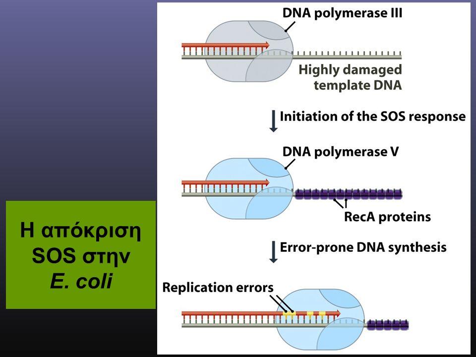 Η απόκριση SOS στην E. coli
