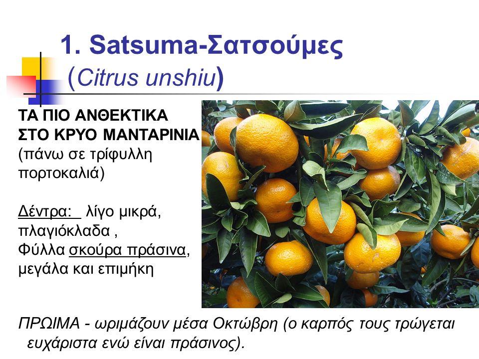 1. Satsuma-Σατσούμες ( Citrus unshiu ) ΤΑ ΠΙΟ ΑΝΘΕΚΤΙΚΑ ΣΤΟ ΚΡΥΟ ΜΑΝΤΑΡΙΝΙΑ (πάνω σε τρίφυλλη πορτοκαλιά) Δέντρα: λίγο μικρά, πλαγιόκλαδα, Φύλλα σκούρ