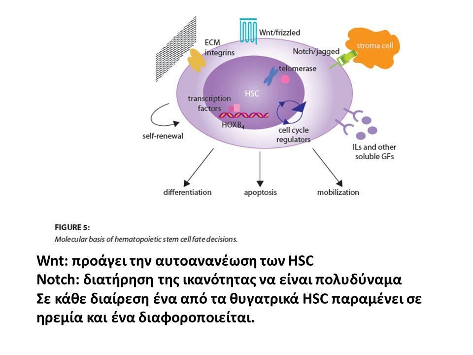 Wnt: προάγει την αυτοανανέωση των HSC Notch: διατήρηση της ικανότητας να είναι πολυδύναμα Σε κάθε διαίρεση ένα από τα θυγατρικά HSC παραμένει σε ηρεμί